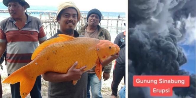 Ikan Mas Terbesar Danau Toba Ditangkap, Betulkah Terkait Erupsi Sinabung?